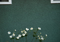 WALL FLOWERS (ikan1711) Tags: autumn windows white green fall wall petals blooms windowframes fallflowers fallscenes whiteflowers greenwall stuccowall autumnscenes whiteframedwindows