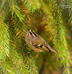 Golden Crowned Kinglet (*~ Nature's Gifts Captured  ~*) Tags: autumn nature birds yellow newjersey nikon wildlife migration tami songbird specanimal d300s naturesgiftscaptured