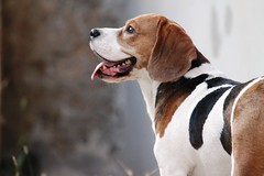 IMG_4837 (teano) Tags: pets beagle dogs hound perros mascotas