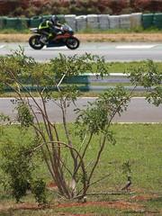 Quero-quero no Moto 1000 GP (FC Monteiro) Tags: brazil brasil geotagged df sony natureza motorbike ave alpha brasilia fotógrafo cbf motocicleta queroquero motorace sal55200 autódromonelsonpiquet moto1000gp α560 autodromodebasilia