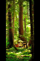Nicknaqueet forest (Tim Ennis) Tags: wild canada tree green nature forest landscape spring ancient rainforest bc native britishcolumbia conservation sunny trail coastal trunk sitka wilderness westcoast spruce coniferous pice conifer conservancy oldgrowth pristine floodplain temperate riversinlet sitchensis wannock wuikinuxv wanugvaxsiwa owikeeno thesecretlifeoftrees wanukv owikeno nicknaqueet