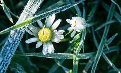Frosty Daisy (enneafive) Tags: autumn flower ice frozen frost olympus daisy omd em5