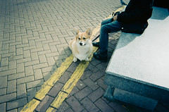 Corgi in Town Market (rimatakesphotos) Tags: dog film corgi october unitedkingdom outdoor surrey disposablecamera kingstonuponthames rimabaroudi rimatakesphotos 100weekproject