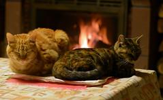 A quoi rvent les chats ? (iveka19) Tags: cats fire chat dreaming gato katze gatto sueo chemine sogno traum avialablelight