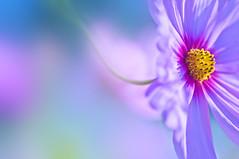 WINDBLOWN (ajpscs) Tags: pink autumn flower macro japan tokyo nikon october  nippon    aki tamron cosmos  windblown hirai d300 b01   ajpscs  tamron180mm summertoautumn nikonflickraward spaf180mmf35 mygearandme mygearandmepremium mygearandmebronze
