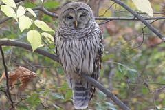 FPR-2012-10-27-33.jpg (hryc111) Tags: cambridge ma owl barred freshpondreservation