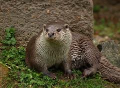 European otter (Rick & Bart) Tags: zoo otter gaia kerkrade dierentuin lutralutra europeanotter eurasianotter europeseotter rickbart thebestofday gnneniyisi visotter gaiazoo rickvink