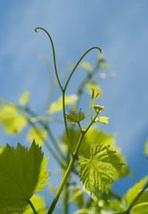 new growth (stacey catherine) Tags: green nature leaves spring vines grapevine westerncape montagu