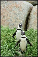 Penguin Walk (vham777) Tags: africa slr beach town nikon south sigma capetown boulder cape dslr simons kapstadt 18250 d7000