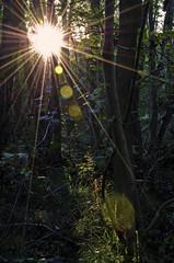 The Sun (lovingyourwork.com) Tags: wood sun sunshine woodland woods sunrays intothesun
