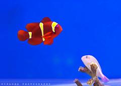 Finding NEMO ! (ZiZLoSs) Tags: blue fish canon 50mm aquarium nemo abdulaziz zizloss almanie abdulazizalmanie canoneos600d