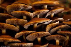 44/52 Mushrooms (Johannes D. Mayer) Tags: mushrooms deutschland fungi pilze badenwrttemberg grtzingen aichtal strobist canoneos50d tokina100mmf28atxprod landkreisesslingen mygearandme aichtalgrtzingenes