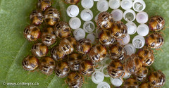 A1250000 (_Critterpix) Tags: nature animal animals fauna bug insect soldier wildlife insects bugs eggs emerging metamorphosis invertebrate invertebrates hatching lifecycle insecta podisus spp spined instar