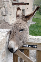 ne au portillon (Monts du Midi Tourisme) Tags: pets nature animals montagne vacances landscapes donkey wilderness animaux wildanimals languedocroussillon sauvage ne lozre margeride montsdumiditourisme stchlydapcher