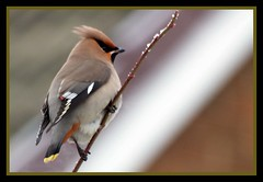 Waxwing (Buzzard2001) Tags: birds wildlife waxwing bombycillagarrulus passerine