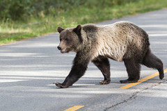 Crossing bear (seryani) Tags: road wood trip viaje summer vacation naturaleza holiday canada nature animal animals forest canon rockies outdoors oso nationalpark woods holidays rboles carretera outdoor wildlife august paisaje agosto bosque alberta verano banff animales rockymountains grizzly vacations vacaciones forests canad 2012 brownbear extender rocosas bosques grizzlybear canadianrockies parquenacional airelibre osos bowvalley canadianrockymountains bowvalleyparkway animalessalvajes osopardo animalsalvaje montaasrocosas osogrizzly osospardos 1dmarkiv canadarockymountains canoneos1dmarkiv august2012 summer2012 montaasrocosasdecanad extenderef2xiii verano2012 agosto2012 vacaciones2012 parquenacionaldebanff