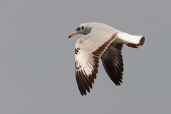 Brown-headed Gull - Explored!!! (ramsfotobites - my experiments with light) Tags: wild brown india lake bird nature water beauty birds photography flying inflight fishing alone natural availablelight wildlife gull birding flight aves single migratory migration 70300mm chennai centralasia birdwatching backwaters birder tamilnadu avian available seabird southindia nationalgeographic bif larus migrant birdinflight 70300 wildbirds brownheaded birdphotography d90 wintering waterbody 2013 incredibleindia aviafauna avianfauna brownheadedgull larusbrunnicephalus chroicocephalus chroicocephalusbrunnicephalus brunnicephalus ramsfotobites