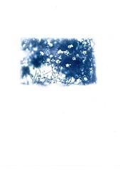 ({jbremer}) Tags: blue cyan blueprint cyanotype sunprint digitalnegative altprocess cyano sunprinting contactprinting alternativeprinting cyanografie uploaded:by=flickrmobile flickriosapp:filter=nofilter