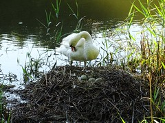 Morning preen (Phil Gayton) Tags: uk river swan nest devon dart mute muteswan cygnusolor totnes