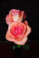 DSC_5525 (PeaTJay) Tags: nikond300s sigma reading lowerearley berkshire macro micro closeups gardens indoors nature flora fauna plants flowers rose roses rosebuds