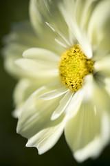 Yellow Cosmos (Keartona) Tags: cosmos yellow paleyellow floral flower macro petals beautiful soft shallowdepthoffield closeup garden summer sunlight