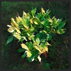 Young shrub. (tetleyboy) Tags: prima plant digitalart green leaves square frame facebook