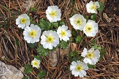 Ranunculus alpestre (Ranunculaceae)  173 16 (ab.130722jvkz) Tags: ranunculaceae ranunculus