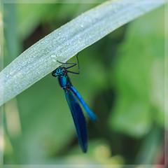 Prachtlibelle_4359 (uwe_cani) Tags: gebnderteprachtlibelle prachtlibelle libelle insekt bach gras makro natur outdoor fauna deutschland nrw rur