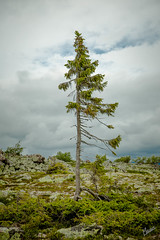 Old Tjikko (marcusthekurt) Tags: outdoor tree plant history iceage sweden fulufjllet