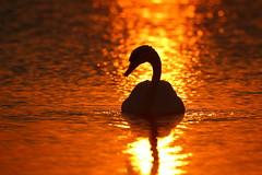 IMG_8445 (Yorkshire Pics) Tags: sunset sunsetsoverwater staidansnaturepark silhouette silhouettes swan swans swansilhouette wildlife nature birds wildfowl 1808 18082016 august leeds
