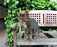 Getting Ready to Pounce (Colorado Sands) Tags: germany allemande alemanha europe alemania allemagne northerngermany german cat pet animal bench woodbench sandraleidholdt hbm lubeck deutschland katze concentration ivy