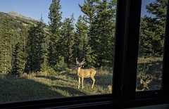 Peeping Toms! (Patty Bauchman) Tags: bucks deer peepingtoms lonepeakmt urbanwildlife wildlife montana backyard backyardwildlife