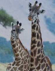 Curious Giraffes (Kitty Kono) Tags: giraffes samburu kenya kittyrileykono africa