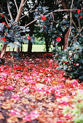 Floral carpet (Katie Tarpey) Tags: flowers floral floralcarpet gardens fitzroygardens melbourne winter redandpink nature 35mm film kodak kodakgold400 nikonfm10 nikkor50mm14