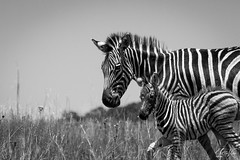 130209_SafeWithMommy.jpg (L.Charl de Klerk) Tags: africa animal blackandwhite equine foal grass grassland herbivore highveld mammal monochrome mother nature pretoria reserve rietvlei southafrica striped stripes wildlife young zebra