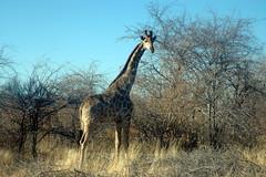DSC_5936 (photospiat) Tags: namibie etosha girafe