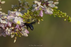 Almost Landing... (madi_patub) Tags: bees bee nikon nikonphotography nikond7200 tamron tamron150600 macros macro macrophotography flower floral