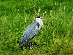 painted grey heron (Ardea cinerea) (Adrinne - for a peace-loving world! -) Tags: topazlabs adrinne addyvanrooij ardeacinerea greyheron gazing fishing painted nature panasonicfz150 birds birdsbirdsonlybirds