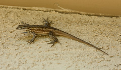 Southwestern Fence Lizard (Sceloporus cowlesi); Sandia Heights, Albuquerque, NM [Lou Feltz] (deserttoad) Tags: wildlife nature newmexico desert herp lizard animal behavior