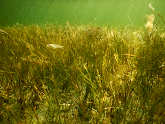 Underwater Ribersborg (Alenius) Tags: underwater under water ocean snorkling snorkelling snorkeling dive diving resund malm sweden skne tng sea snorkla sverige undervatten vatten hav havet dyk dyka nikon coolpix aw130 grs grass fish fisk