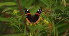 aug22 2016 5 (Delena Jane) Tags: delenajane macro pentaxart newfoundland ngc canada closeup butterfly redadmiral insect