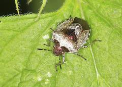 Woundword Shieldbug - Eysarcoris venustissimus (Prank F) Tags: titchmarshlnr wildlifetrust northantsuk wildlife nature insect macro closeup bug shieldbug woundwort eysarcorisvenustissimus