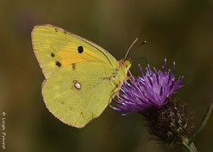 Clouded Yellow (Nature Exposed) Tags: cloudedyellow yellowbutterfly yellow leighprevost leighprevostphotography lepidoptera nature natureexposed naturephotography wildlife wildlifephotography wild sussex sussexwildlife sussexbutterflies eastsussex bbcsummerwatch bbcautumnwatch insects insect insectmacro butterfly butterflies butterflyphotography butterflyconservation