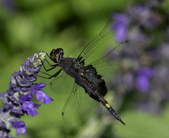 DragonFly_SAF7837 (sara97) Tags: copyright2016saraannefinke dragonfly flyinginsect insect missouri mosquitohawk nature odonata outdoors photobysaraannefinke predator saintlouis towergrovepark