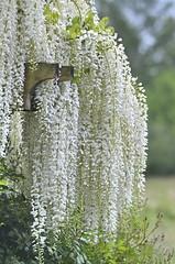 Fragrance Garden (glenbodie) Tags: glen bodie glenbodie 201618 tennant wisteria dncb