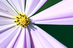 Stamen of Cosmos Flower (Johnnie Shene Photography(Thanks, 1Million+ Views)) Tags: stamen cosmos flower flora floral wild wildlife floweringplant plant depthoffield upperdeckview photography horizontal outdoor colourimage fragility freshness nopeople foregroundfocus adjustment chrysanthemum nature natural livingorganism tranquility tranquilscene petal corolla interesting awe wonder lighteffect korea summer day shadow halflength canon eos600d rebelt3i kissx5 macro zoom lens       tamron 90mm f28 11