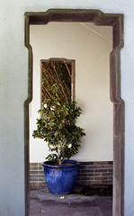 Chinese Gardens camellia (Francis Johns) Tags: pentaxmesuper epsomv550 supertakumar5014 fujicolorc200 chinesegardenoffriendship chinesegardens camellia darlingharbour sydney film