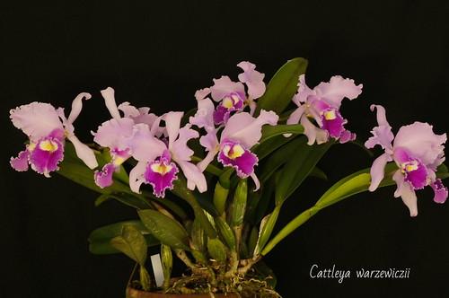 Cattleya warzewiczii
