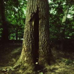 Tree of the Hamadryad (Creepella Gruesome) Tags: iphone6splus hipstamatic nature woods tree trunk bark squareformat eerie mysterious phantasm