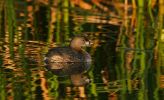 2015-01-27 P2620280 Pied-billed Grebe in the magic light - please view large (Tara Tanaka Digiscoped Photography) Tags: digiscoped digidapter bird light reflection reeds florida wetland vierawetlands magical swarovskistx85 gh4 4k